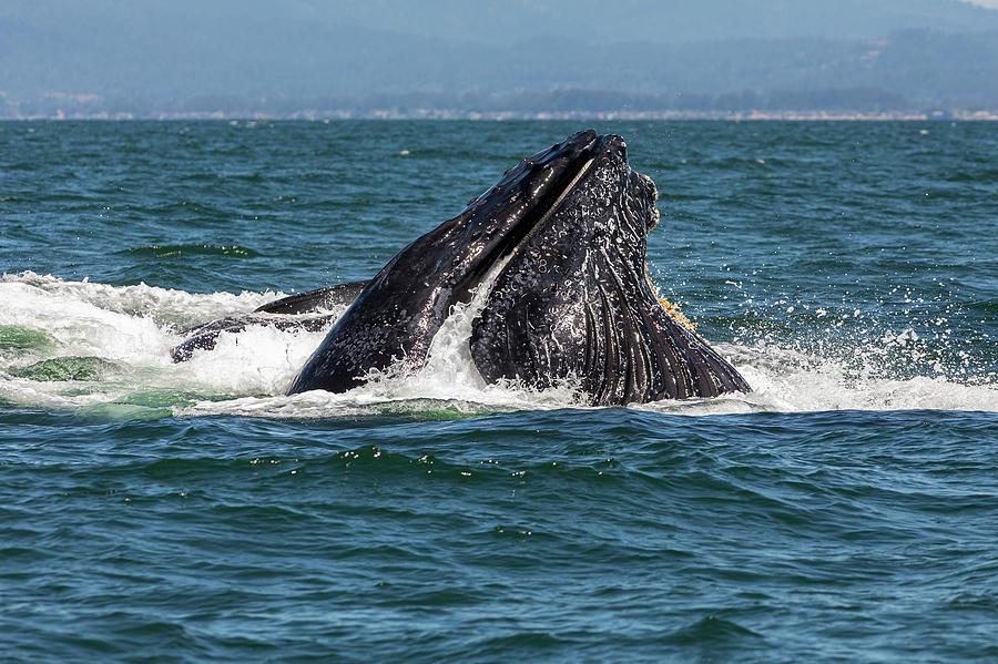 Humpback whale fishing by Lisa Malecki
