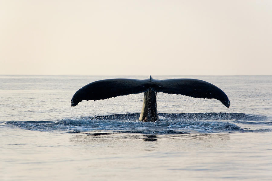 Humpback Whale Fluke Photograph by M Sweet