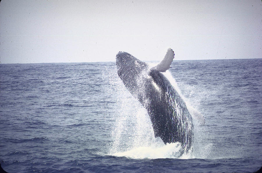 Humpback Whale Leaping Out Of Water Near Photograph by John Dominis