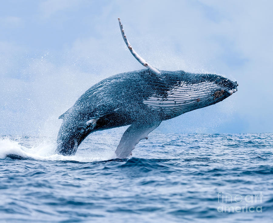 Breach Photograph - Humpback Whale Megaptera Novaeangliae by Paul S. Wolf
