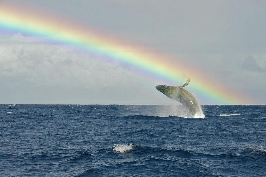 Humpback Whale Rainbow Breach Photograph by Share Your Experiences
