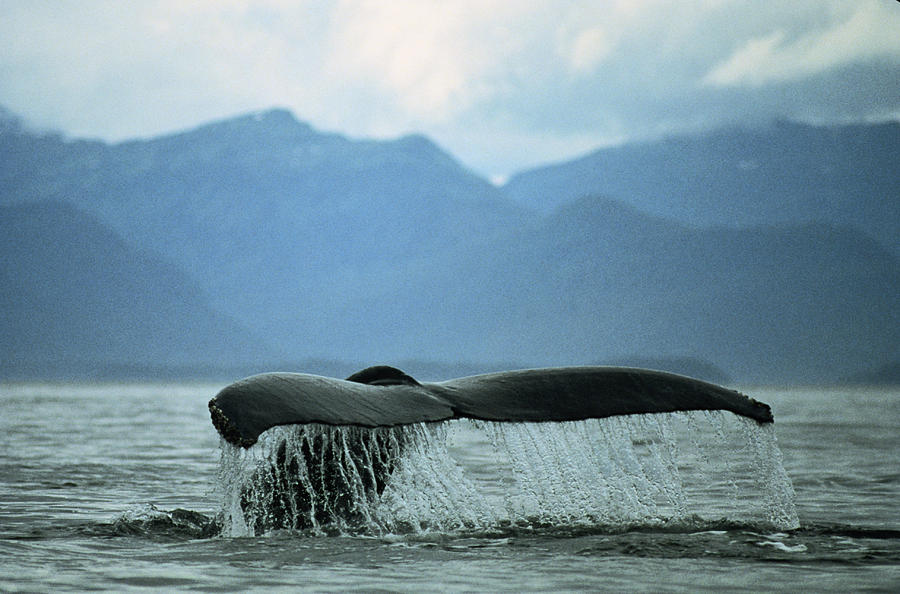 Humpback Whale Sounding Photograph by James Gritz