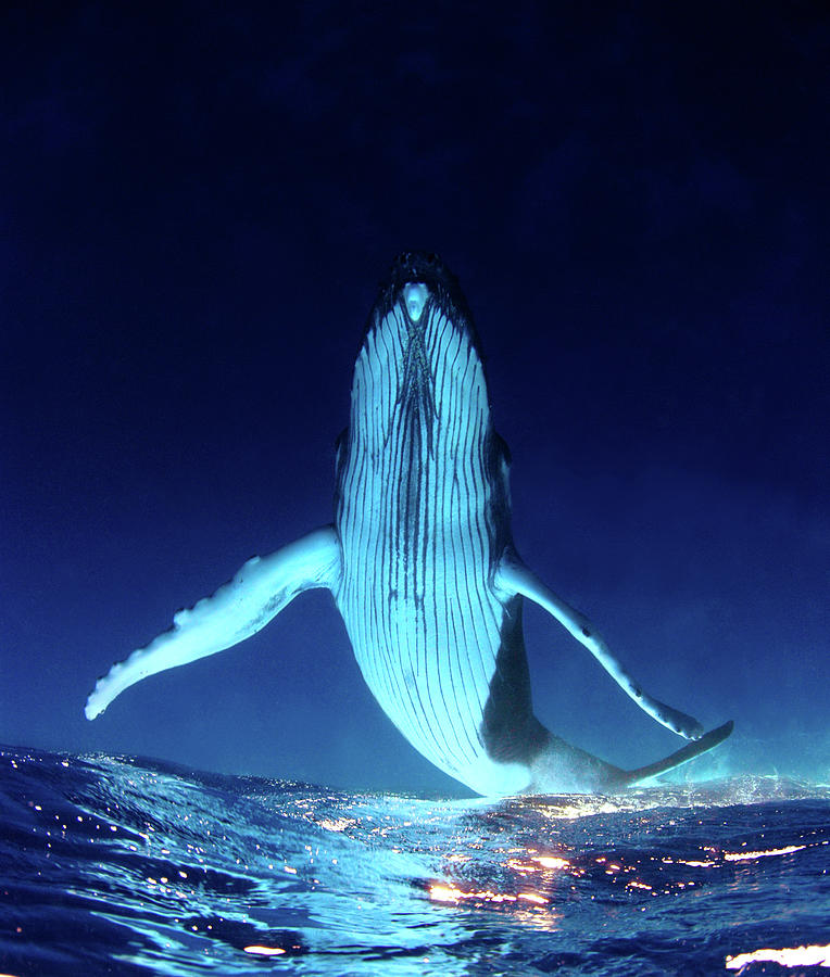 Humpback Whale  Underwater Photograph by Kate Westaway