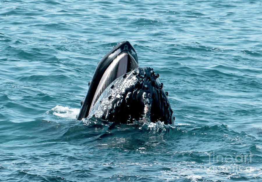 Humpback Whales Feed On Anchivies Off The Coast Of Santa Barbara Photograph By Glenn Harvey
