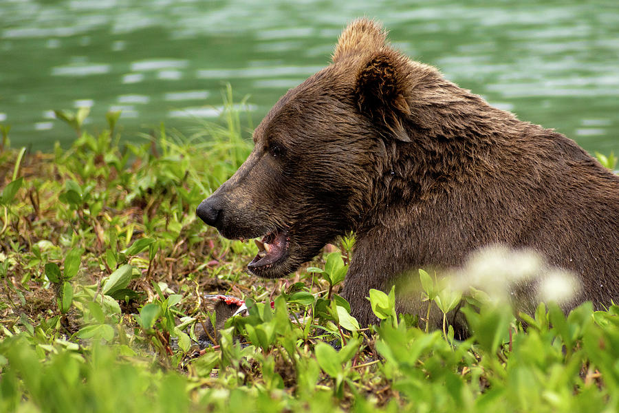 Hungry Bear by Chad Dutson