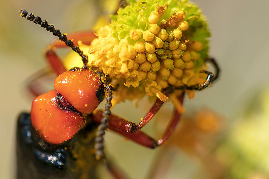 Hungry Blister Beetle 2