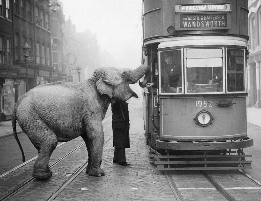 Hungry Elephant Photograph by Fox Photos