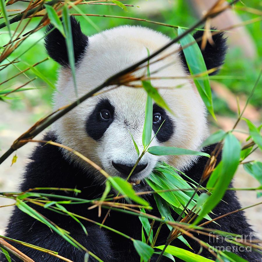 Big Photograph - Hungry Giant Panda Bear Eating Bamboo by Hung Chung Chih