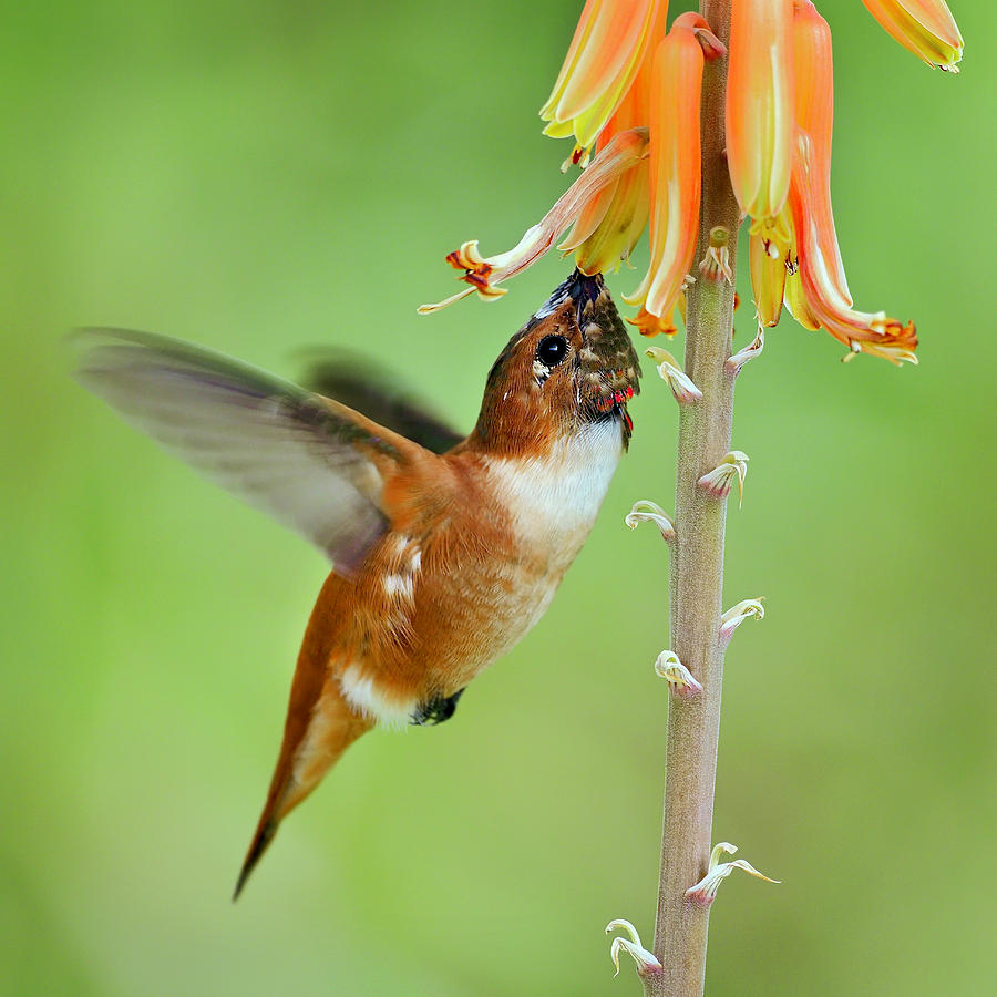 Hungry Hummer by Scott Bourne