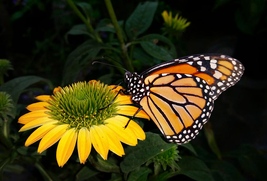 Hungry Monarch Butterfly Photograph