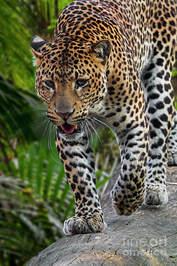 Hunting Leopard by Arterra Picture Library