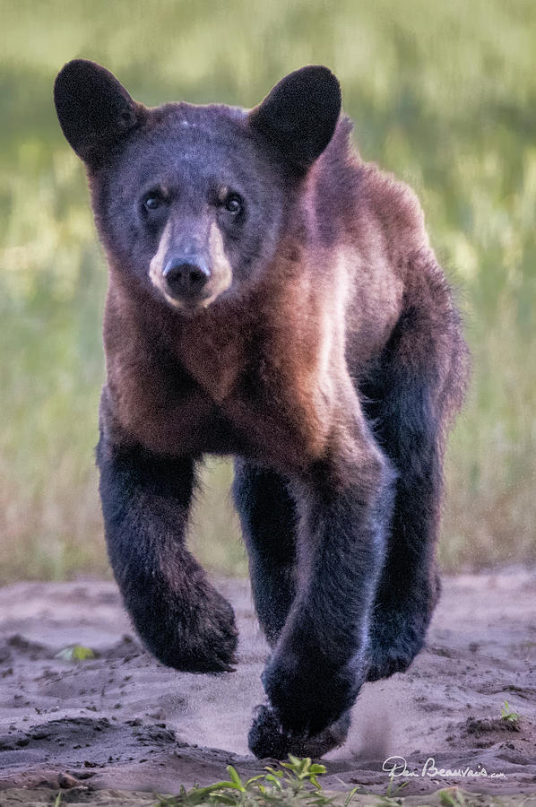 Hustling Cub 3626 by Dan Beauvais