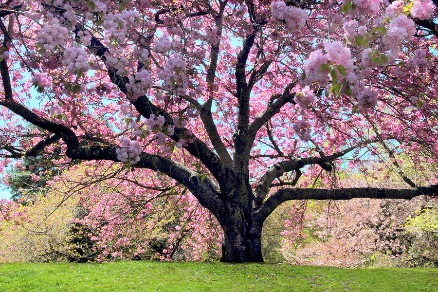 Cherry Trees Photograph - Sublime Sakura by Jessica Jenney