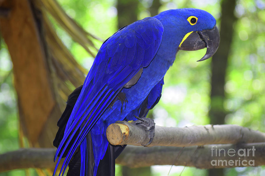 Hyacinth Macaw parrot Photograph by Twinkle Shah