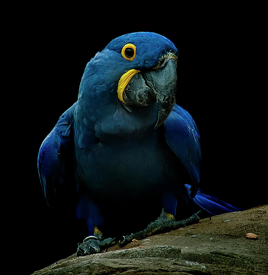 Hyacinth Macaw Photograph by Photo By Steve Wilson