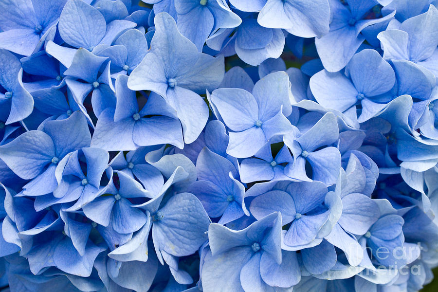 Delicate Photograph - Hydrangea by Dwph