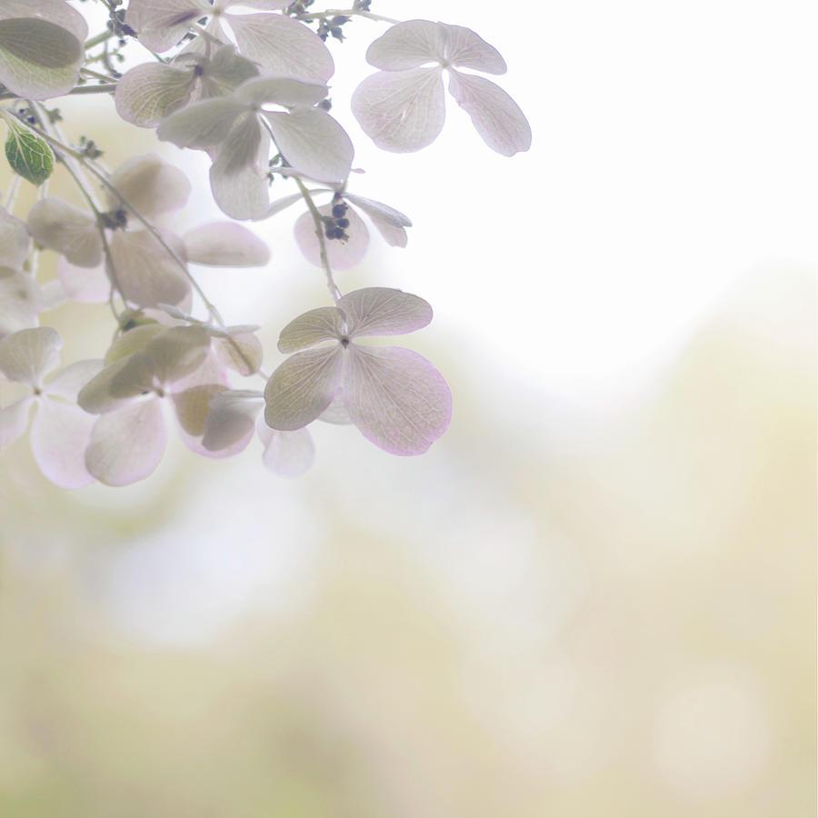 Hydrangea Paniculata Photograph by © Kaori Yoshida