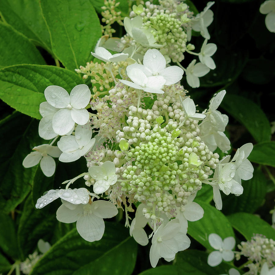 Hydrangea tree blossoms by David Coblitz
