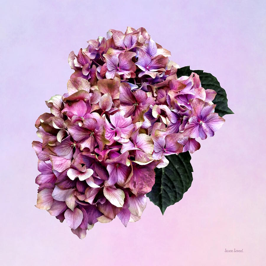Hydrangeas - Pink and Purple Hydrangea by Susan Savad