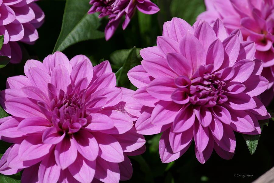 Hypnotic Lavender Dahlias by Tracey Vivar
