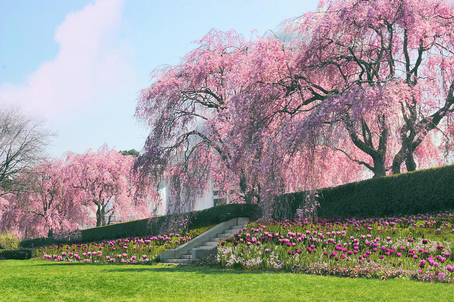 Cherry Trees Photograph - Weeping Spring Cherry  by Jessica Jenney