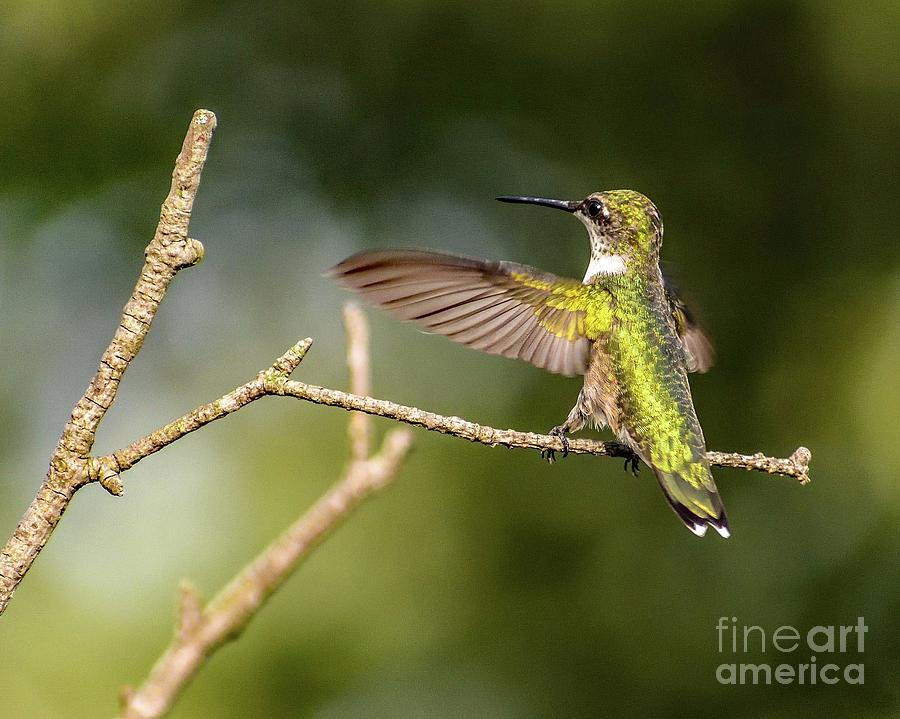 I Love You This Much - Ruby-throated Hummingbird Photograph