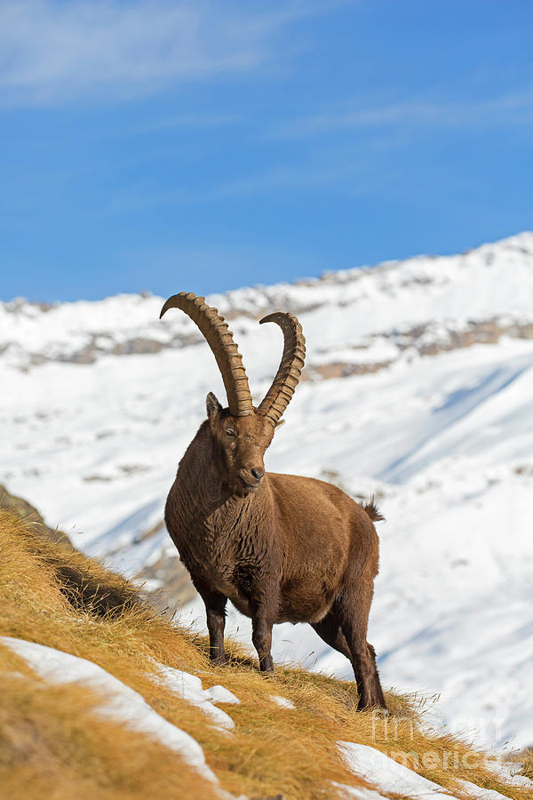 Ibex by Arterra Picture Library