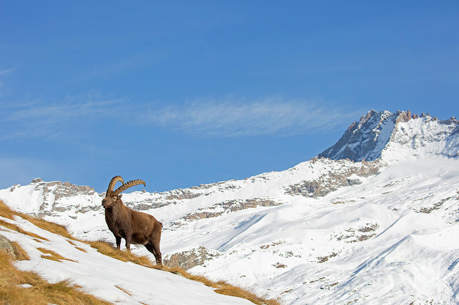 Ibex in the Alps by Arterra Picture Library