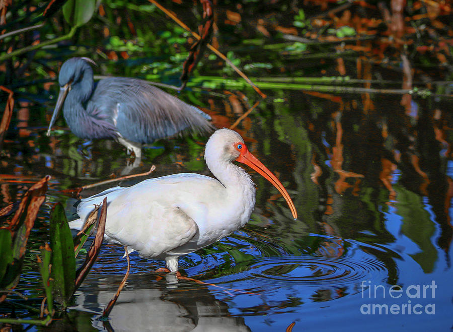 Ibis and Friend by Tom Claud