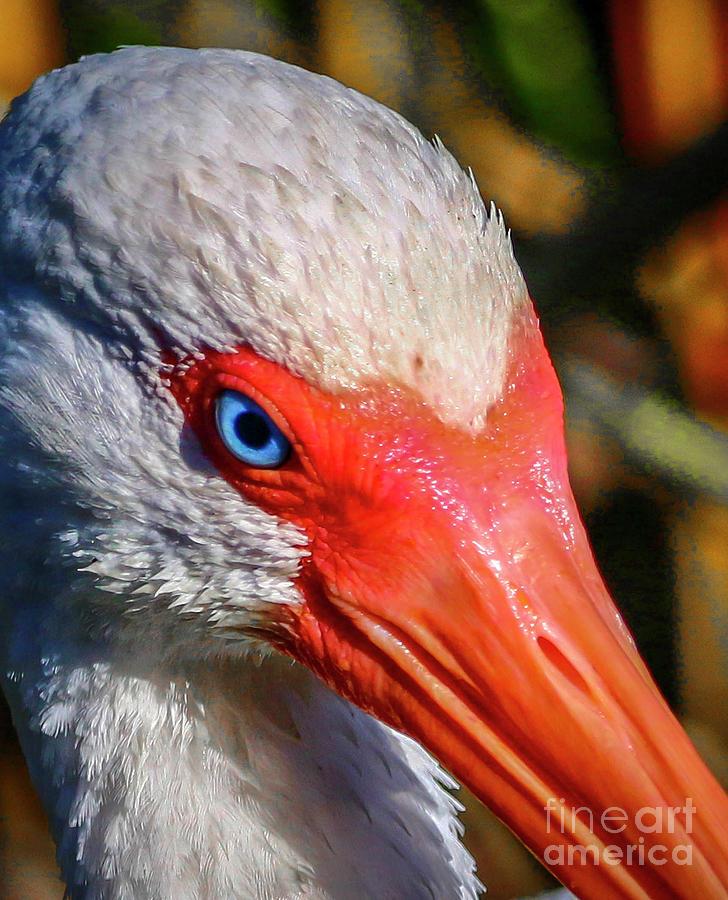 Ibis Eye by Tom Claud