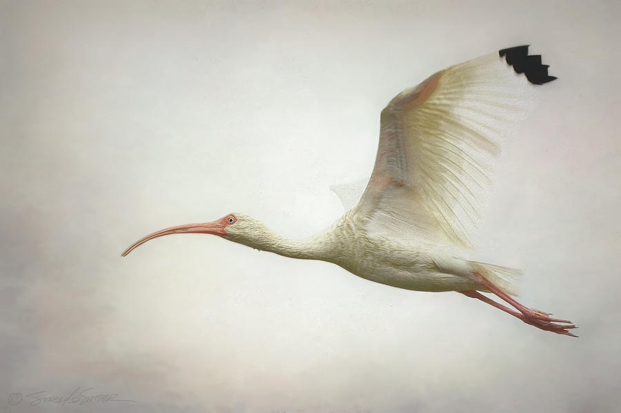Ibis in flight by Stacey Sather