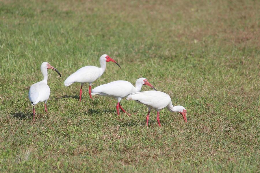 American White Ibis Photograph - Ibises by Callen Harty