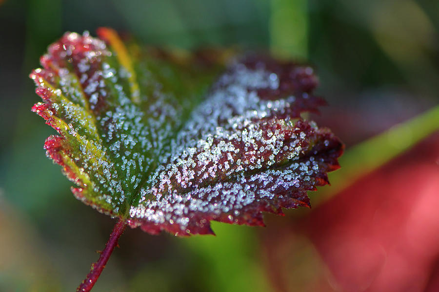 Ice Crystals on Leaf by Sharon Talson
