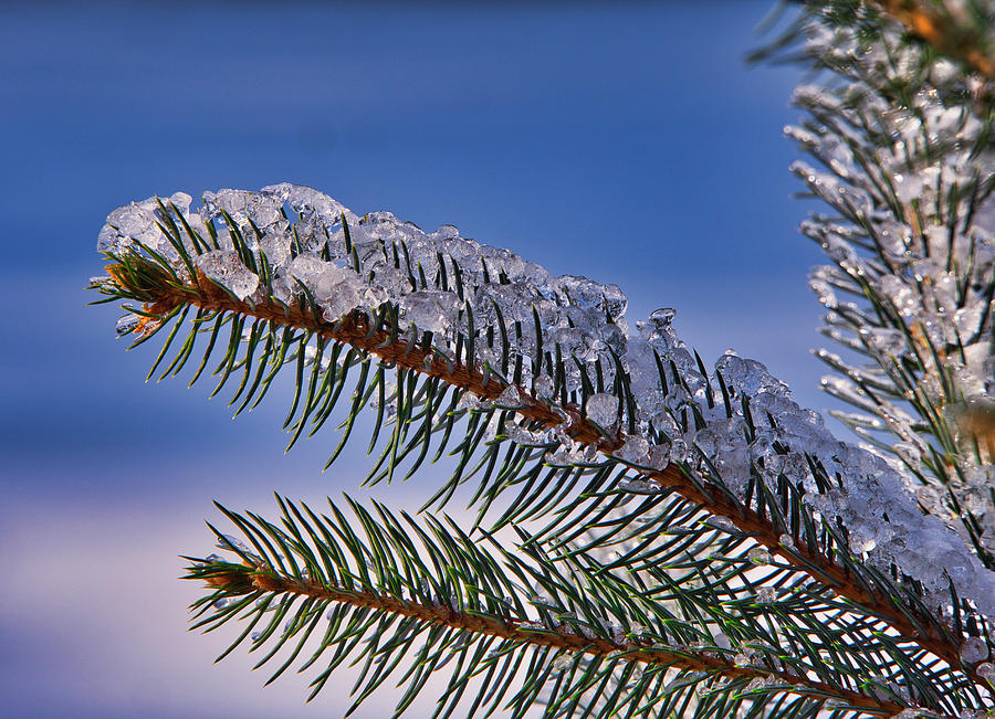 Ice on pine tree III by Steven Ralser