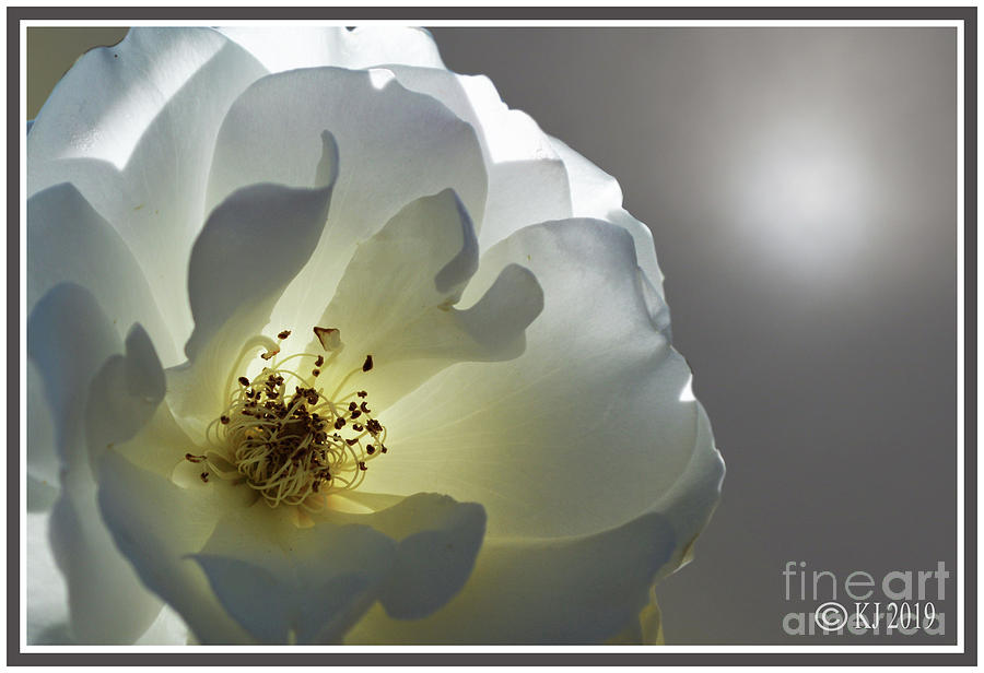 Rose Photograph - Iceberg Rose by Klaus Jaritz