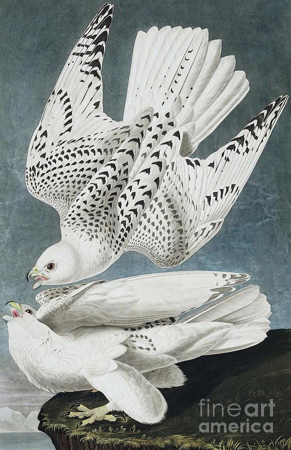 Blue Painting - Iceland Falcon Or Jer Falcon By Audubon by John James Audubon