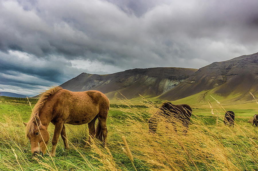 Iceland Ponies by Rich Isaacman