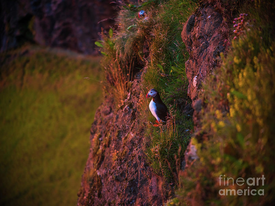 Iceland Sunset Puffins On The Cliffs Photograph