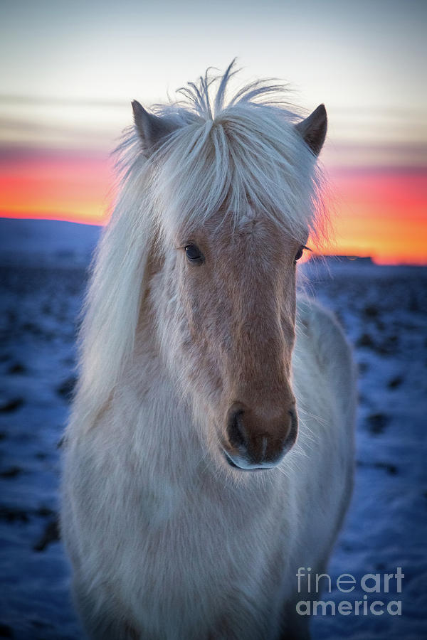 Icelandic Horse Photograph by Christa Watson