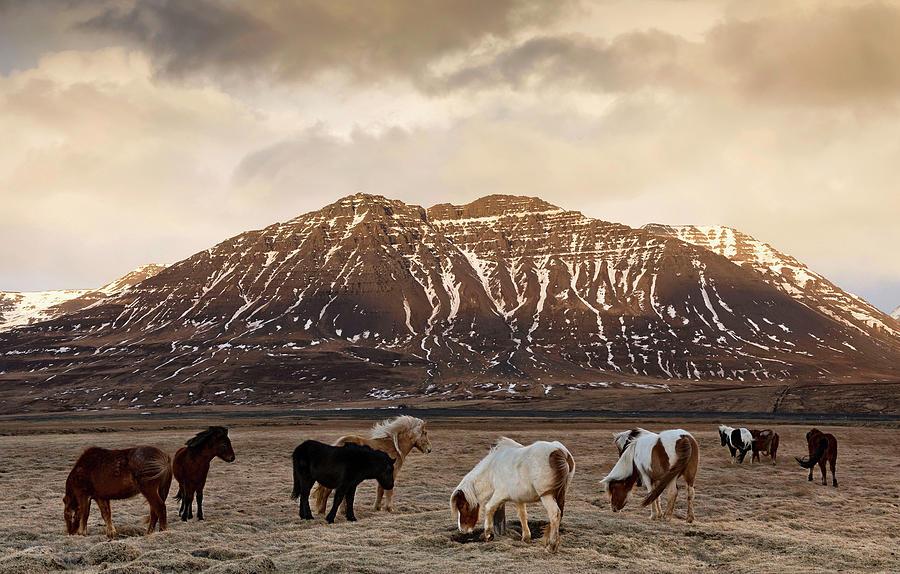 Icelandic Horses In Dramatic Landscape Photograph by Daniel Bosma