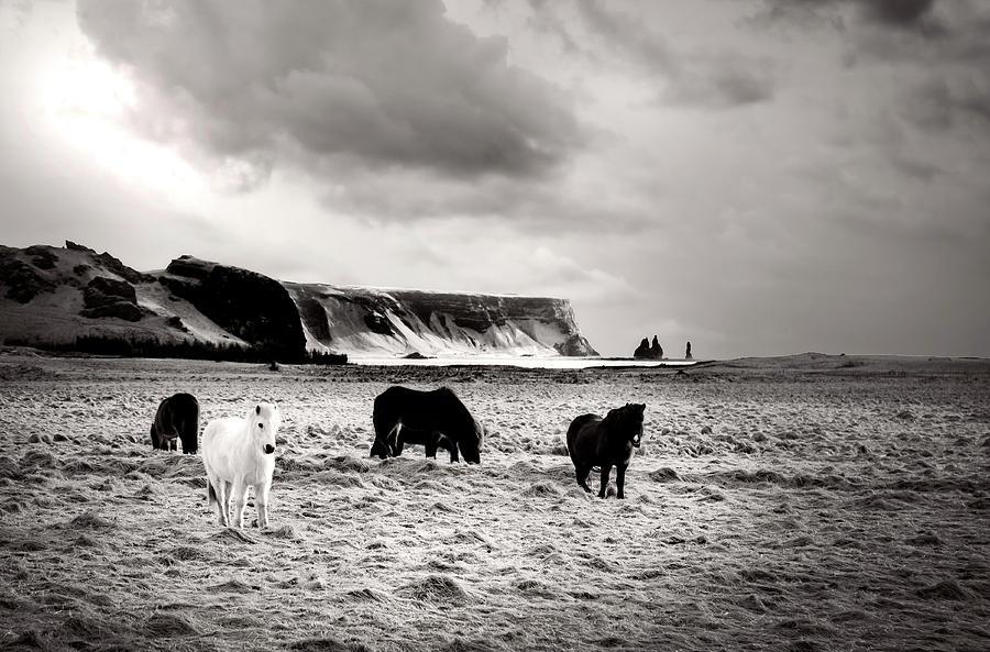 Icelandic Horses by Kathryn McBride