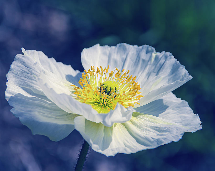 Icelandic Poppy in White by Julie Palencia