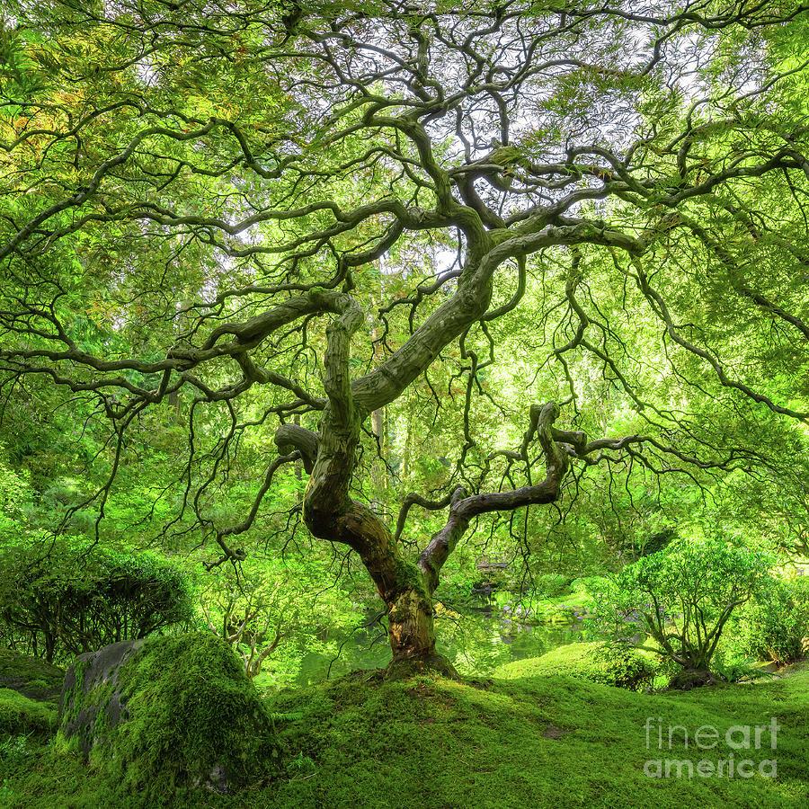 Iconic Japanese Maple Tree Photograph