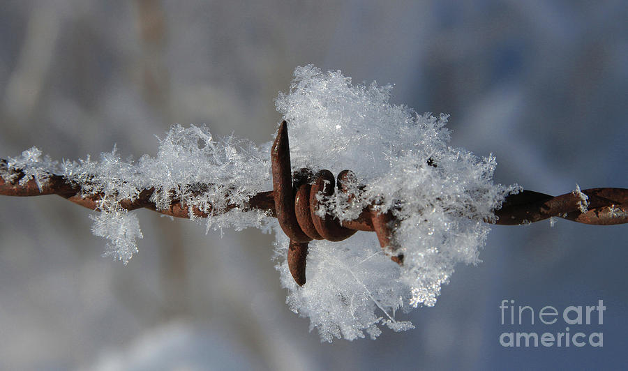 Ice Photograph - Icy Barbwire by Gary Wing