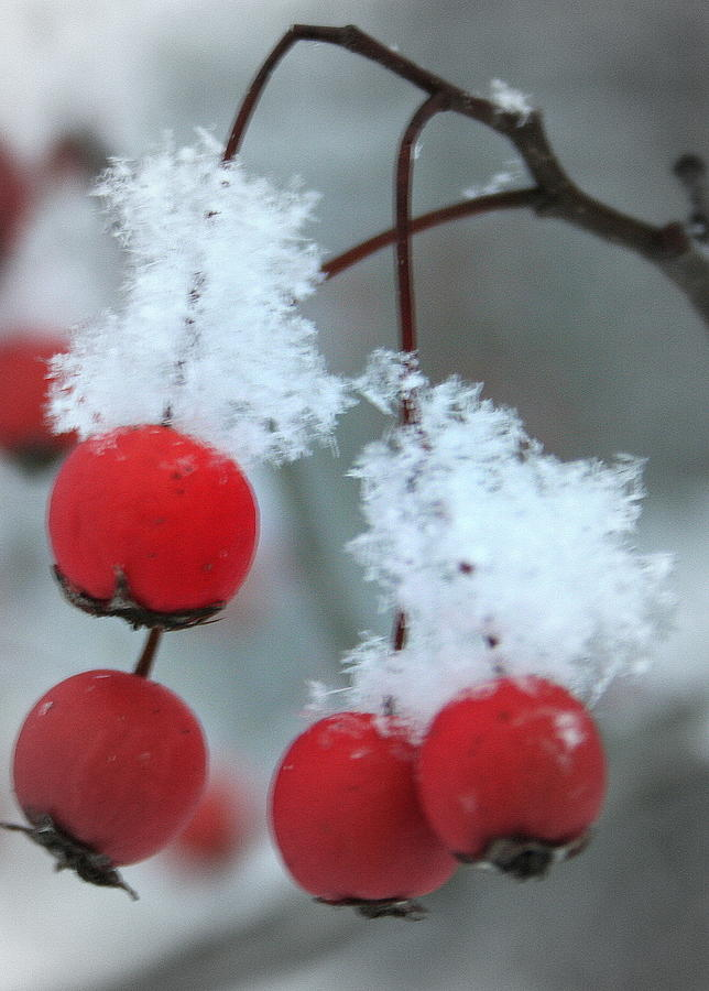 Icy Winter Berries by Laurel Talabere
