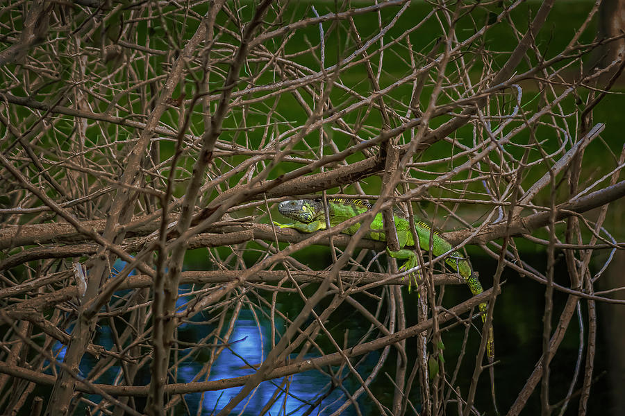 Iguana finds refuge in an ever intertwined mix of twigs. by Manny DaCunha