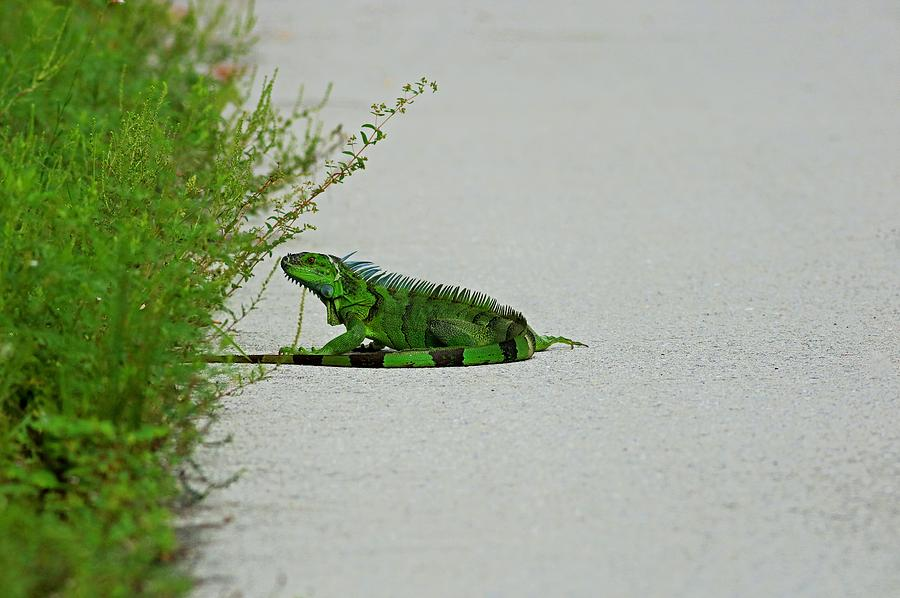 Iguana in Ding by Michiale Schneider