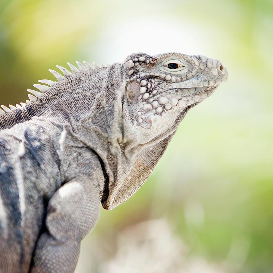 Iguana In The Caribbean Photograph by Noel Hendrickson