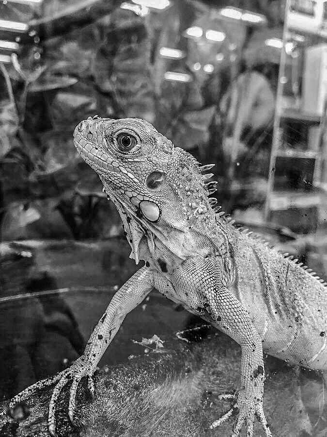 Iguana Portrait Black and White by Lesa Fine