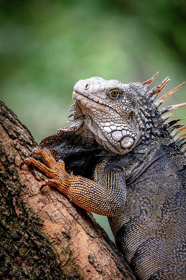 Iguana's Portrait by Francisco Gomez